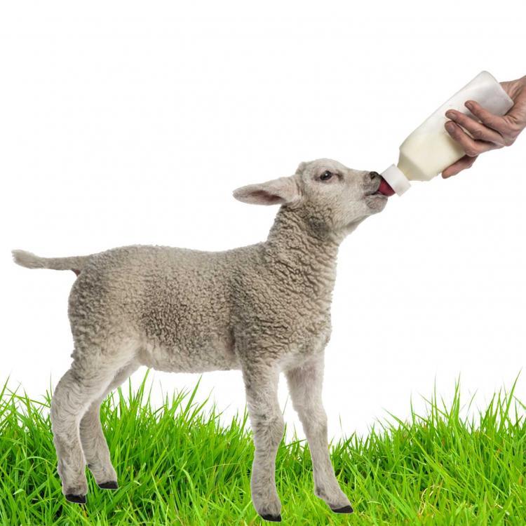 Volac patarimai ėriukų augintojams