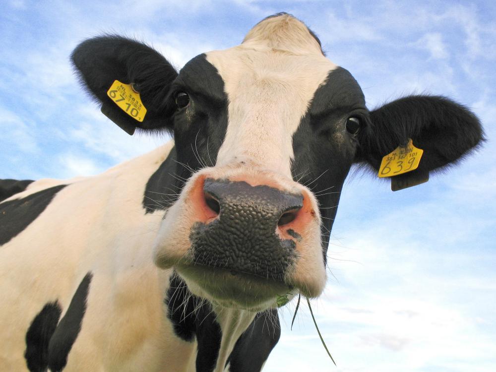 Vitamininiai mineraliniai papildai melžiamoms karvėms - VitaMix MilkFlow Organic