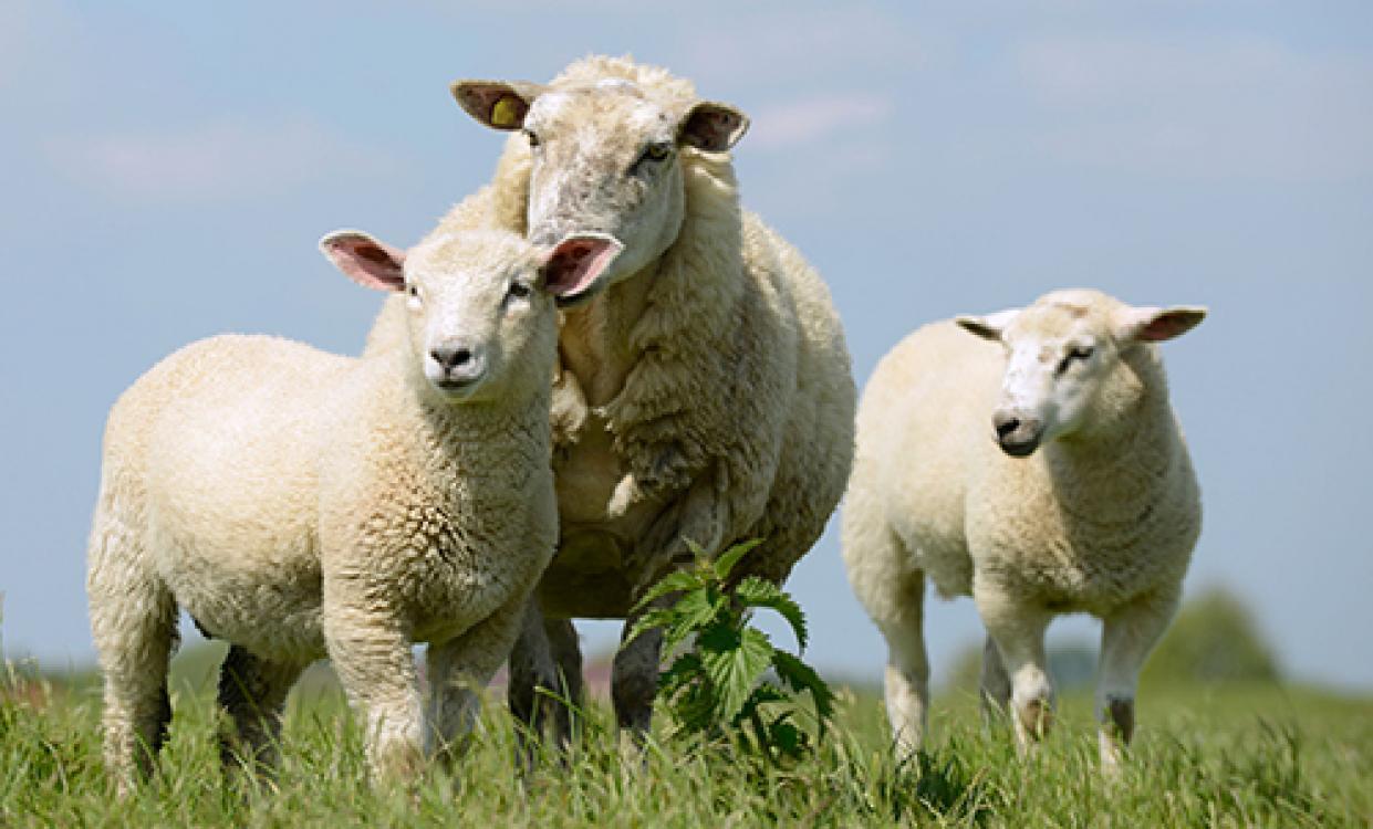 Vitamininiai mineraliniai papildai avims - VitaMix Sheep Organic